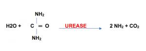 urease