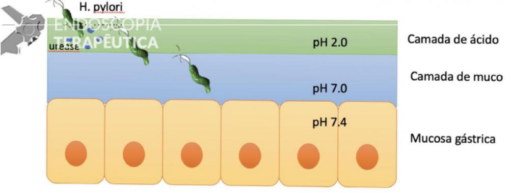 Curiosidades sobre o Helicobacter pylori